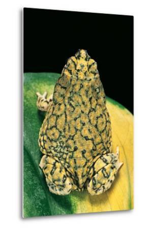 Anaxyrus Debilis (Green Toad)-Paul Starosta-Metal Print