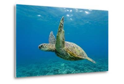 Green Sea Turtle (Chelonia Mydas) Underwater, Maui, Hawaii, United States of America, Pacific-Michael Nolan-Metal Print