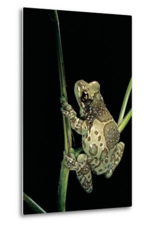 Phrynohyas Resinifictrix (Amazon Milk Frog)-Paul Starosta-Metal Print