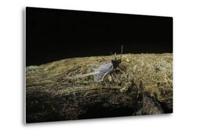 Porphyrophora Polonica (Polish Cochineal, Polish Carmine Scale) - Male-Paul Starosta-Metal Print