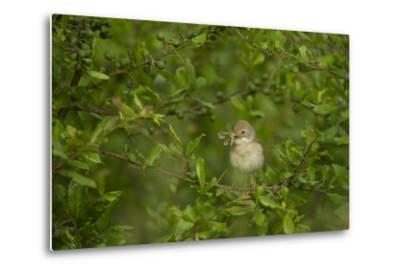 Whitethroat (Sylvia Communis) Adult Perched in Blackthorn Hedgerow with Insect, Cambridgeshire, UK-Andrew Parkinson-Metal Print