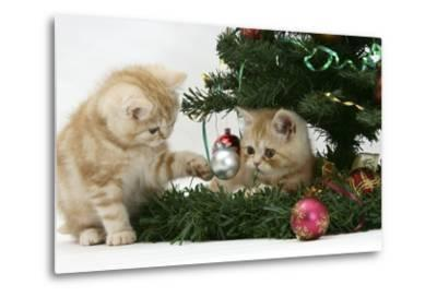 Two Ginger Kittens Playing with Decorations in a Christmas Tree-Mark Taylor-Metal Print