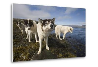 Sled Dogs in Sisimiut--Metal Print