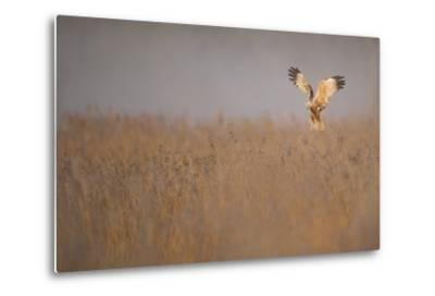 Marsh Harrier (Circus Aeruginosus) Adult Male in Flight Hunting over Reedbed at Dawn, Norfolk, UK-Andrew Parkinson-Metal Print