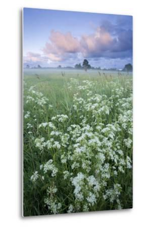 Cow Parsely (Anthriscus Sylvestris) in Meadow at Dawn, Nemunas Regional Reserve, Lithuania, June-Hamblin-Metal Print