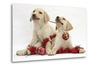 Yellow Labrador Retriever Bitch Puppies, 10 Weeks, Playing with Christmas Decorations-Mark Taylor-Metal Print