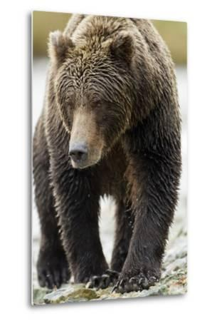 Brown Bear, Katmai National Park, Alaska--Metal Print