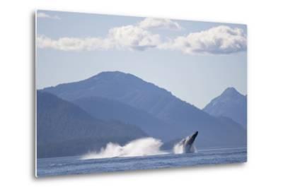 Breaching Humpback Whale in Chatham Strait--Metal Print
