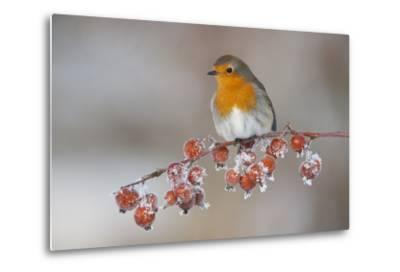 Adult Robin (Erithacus Rubecula) in Winter, Perched on Twig with Frozen Crab Apples, Scotland, UK-Mark Hamblin-Metal Print
