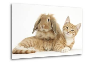 Ginger Kitten with Sandy Lionhead-Lop Rabbit-Mark Taylor-Metal Print