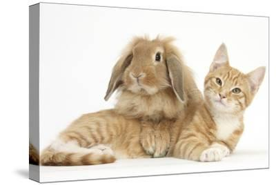 Ginger Kitten with Sandy Lionhead-Lop Rabbit-Mark Taylor-Stretched Canvas Print