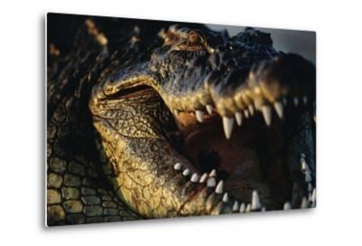 Nile Crocodile with Open Mouth-Paul Souders-Metal Print