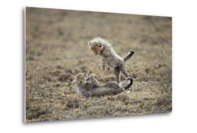 Cheetah Cubs Playing at Ngorongoro Conservation Area, Tanzania-Paul Souders-Metal Print
