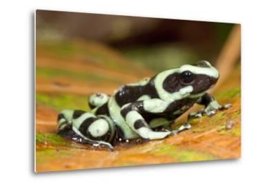 Poison Dart Frog, Costa Rica-Paul Souders-Metal Print