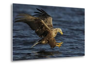 White Tailed Sea Eagle Hunting, North Atlantic, Flatanger, Nord-Tr?ndelag, Norway, August-Widstrand-Metal Print