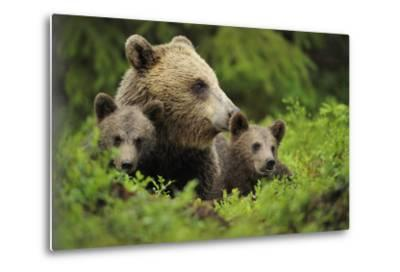 Eurasian Brown Bear (Ursus Arctos) with Two Cubs, Suomussalmi, Finland, July 2008-Widstrand-Metal Print