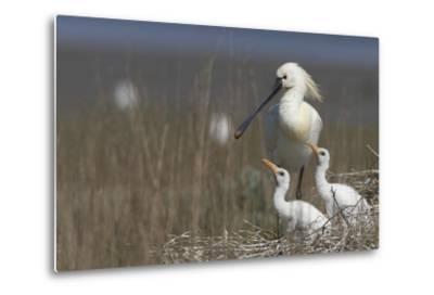 Spoonbill (Platalea Leucorodia) at Nest with Two Chicks, Texel, Netherlands, May 2009- Peltomäki-Metal Print