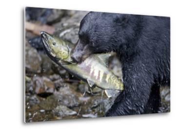 Black Bear and Chum Salmon in Alaska--Metal Print