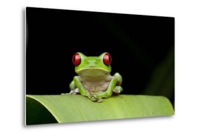 Red Eyed Tree Frog, Costa Rica--Metal Print