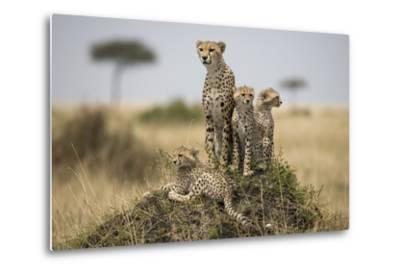 Cheetah and Cubs, Masai Mara Game Reserve, Kenya--Metal Print