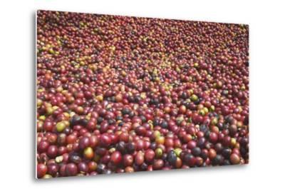 Coffee Cherries-Paul Souders-Metal Print