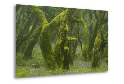 Laurisilva Forest, Laurus Azorica Among Other Trees, Garajonay Np, La Gomera, Canary Islands, Spain-Relanz?n-Metal Print