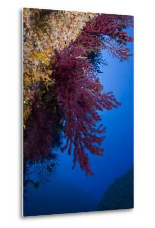 Gorgonian Coral on Rock Face Covered with Yellow Encrusting Anemones, Sponges and Corals, Corsica- Pitkin-Metal Print