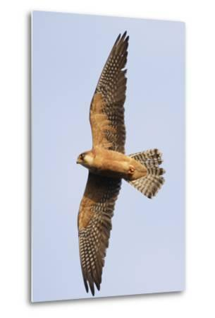 Red Footed Falcon (Falco Vespertinus) in Flight, Danube Delta, Romania, May 2009-Presti-Metal Print