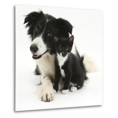 Black-And-White Border Collie Bitch, with Black-And-White Tuxedo Kitten, 10 Weeks-Mark Taylor-Metal Print