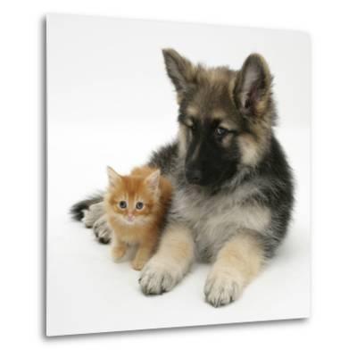 Ginger Kitten with German Shepherd Dog (Alsatian) Bitch Puppy, Echo-Mark Taylor-Metal Print