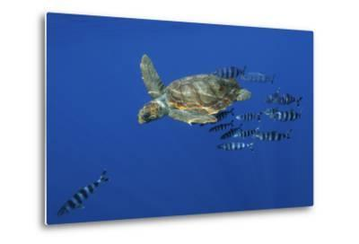 Loggerhead Turtle (Caretta Caretta) with a Shoal of Pilot Fish, Pico, Azores, Portugal, June-Lundgren-Metal Print