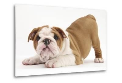 Playful Bulldog Puppy, 8 Weeks, in Play-Bow-Mark Taylor-Metal Print