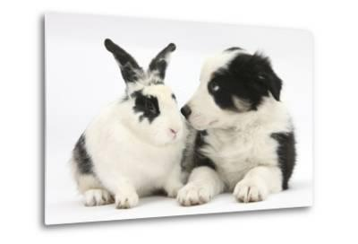 Tricolour Border Collie Puppy Basil, 8 Weeks, with Black and White Rabbit-Mark Taylor-Metal Print