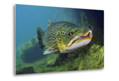 Brown Trout (Salmo Trutta) Jackdaw Quarry, Capernwray, Carnforth, Lancashire, UK, August-Linda Pitkin-Metal Print