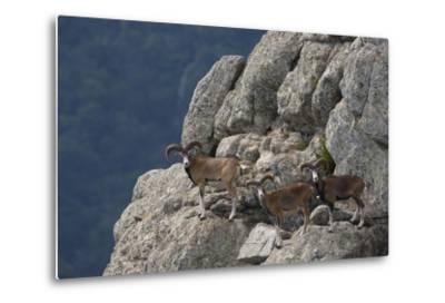 Mouflon (Ovis Musimon) Males on Rock Face, Parc Naturel Regional Du Haut-Languedoc, Caroux, France- Arndt-Metal Print