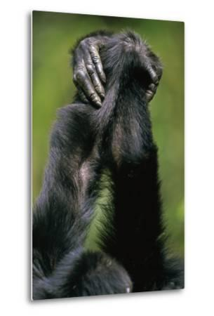 Close-Up of Chimpanzees Holding Hands--Metal Print