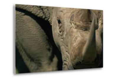 Close-Up of White Rhinoceros--Metal Print