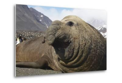 Elephant Seal on South Georgia Island--Metal Print