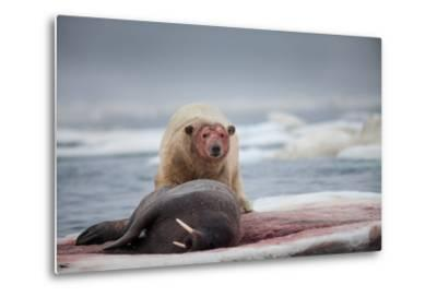 Polar Bear Feeding on Walrus, Hudson Bay, Nunavut, Canada-Paul Souders-Metal Print