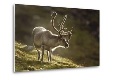 Reindeer, Svalbard, Norway-Paul Souders-Metal Print