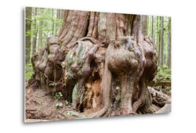 Canada, B.C, Port Renfrew, Avatar Grove, Ancient Red Cedar Tree-Jamie And Judy Wild-Metal Print
