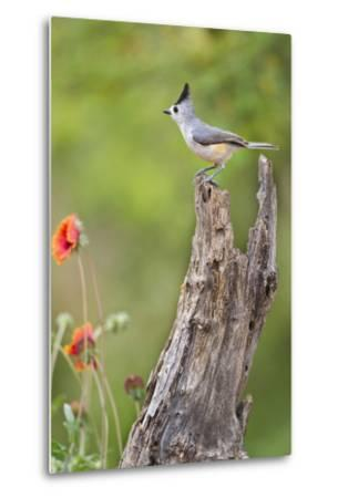 Starr County, Texas. Black Crested Titmouse Perched-Larry Ditto-Metal Print