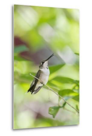 Ruby-Throated Hummingbird-Gary Carter-Metal Print