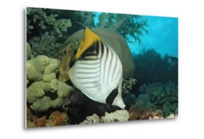 Threadfin Butterflyfish Swimming near a Coral Reef. (Chaetodon Auriga) Red Sea, Sudan, Africa-Reinhard Dirscherl-Metal Print