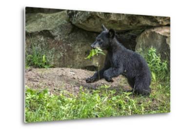 Minnesota, Sandstone, Black Bear Cub with Leaf in Mouth-Rona Schwarz-Metal Print