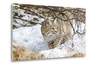 Wyoming, Sublette County, Bobcat in Winter-Elizabeth Boehm-Metal Print