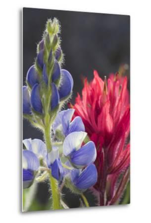 Silvery Lupine, Lavender Paintbrush-Ken Archer-Metal Print