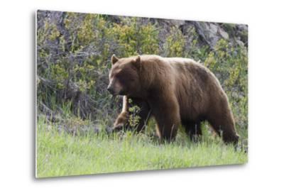 Black Bear Boar, Brown Color Phase, Blue Eyes-Ken Archer-Metal Print
