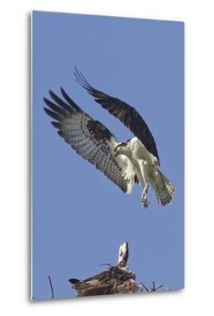 Osprey Landing at its Nest-Hal Beral-Metal Print