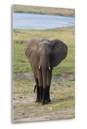 Young African Elephant-Sergio Pitamitz-Metal Print
